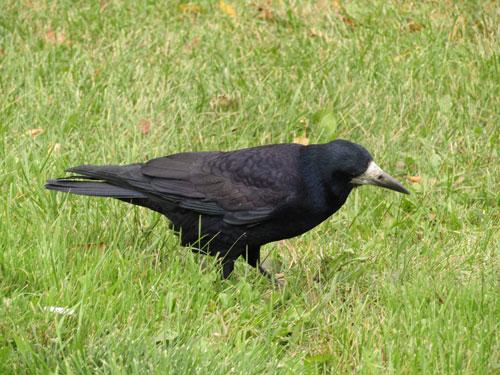 Загадки про птиц для детей: грач