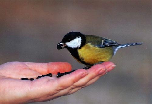 Загадки про птиц для детей: синица